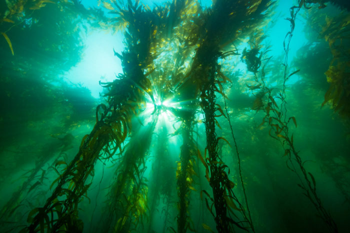 Biofuels: kelp farms operated by underwater drones?